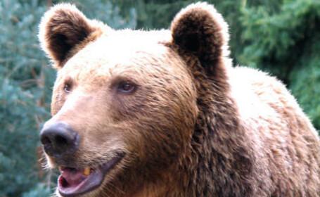 Autoritatile reiau cautarile ursului care a UCIS un om. Braconierii si-au recunoscut faptele