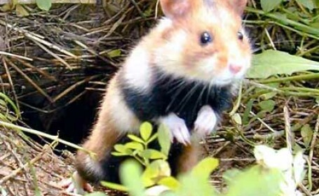 Comisia Europeana sare in ajutorul hamsterilor!