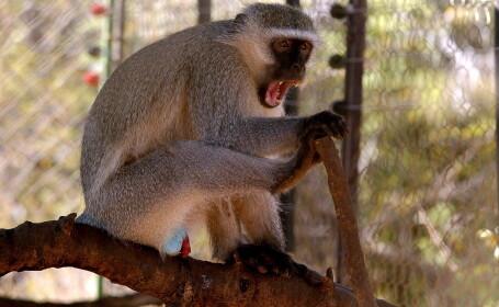 Superstitia si primitivismul: o maimuta \