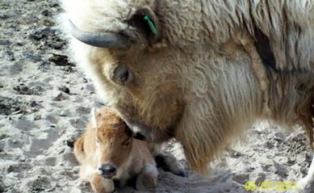 S-a nascut al treilea pui de bizon alb. Vezi ce spune profetia amerindienilor