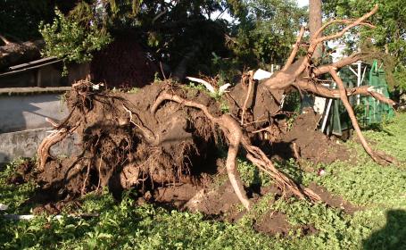 copaci smulsi din radacina