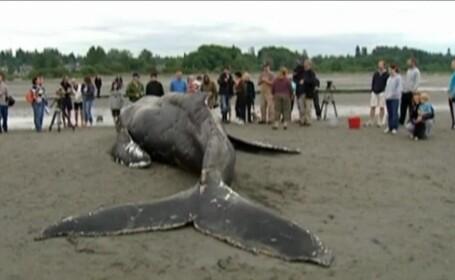 balena moarta in plasa de pescuit