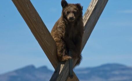 Un urs, prins pe stalpii de inalta tensiune. Nu a coborat pana cand politia nu i-a adus de mancare