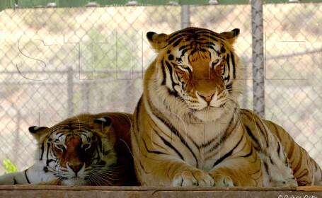 tigrul lui Michael Jackson