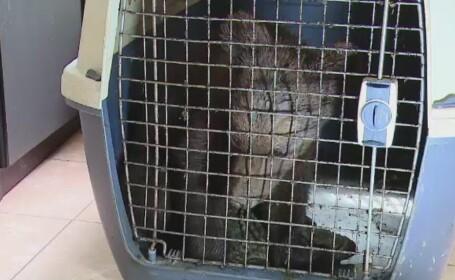 Pui de urs de 4 luni, salvat de medicii veterinari din Covasna. Avea hemoragie interna, dupa ce a fost lovit de o masina