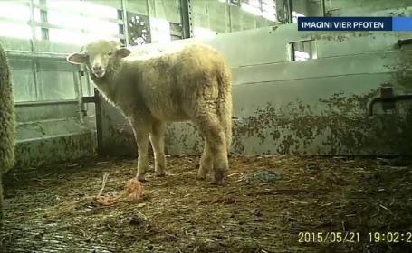 Peste 5000 de oi din Romania au fost lasate sa moara de foame si de sete pe un vas, in drum spre Iordania