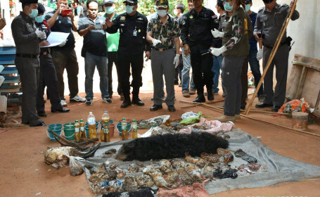 pui de tigru congelati, gasiti in Thailanda
