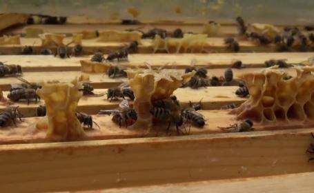 albine, miere