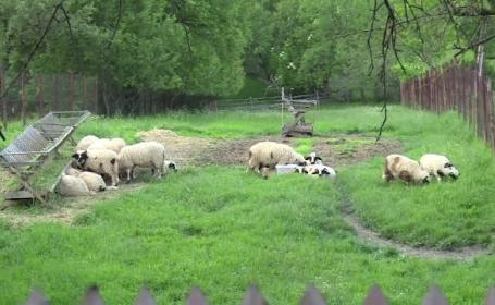 Trupul unui cioban a fost gasit in raul de la marginea satului. Barbatul i-a povestit tatalul sau ca se certase cu alti oieri
