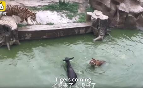 magar dat la tigri