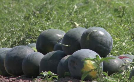 Fermierii de la Dabuleni au inceput culesul pepenilor. Cum le raspund celor care ii acuza ca ar fi folosit tratamente