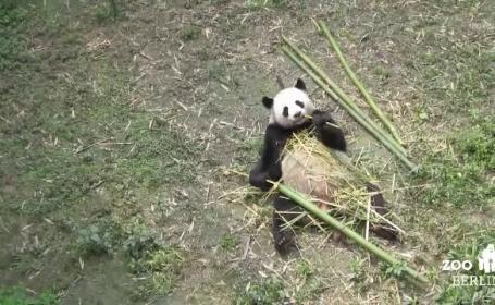 panda berlin