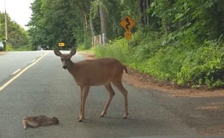 Un pui de căprioară a fost salvat de mama sa din mijlocul unui drum aglomerat