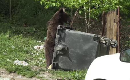 Ministrul Mediului, anunț controversat: Nu o să-mi fie frică să emit ordin de vânătoare a urşilor