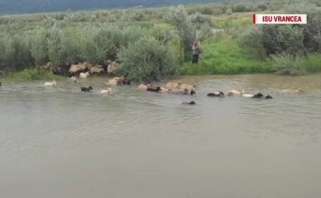 Cioban cu 200 de oi, salvat de ISU după ce s-a refugiat pe o insulă din calea inundațiilor