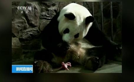 Ursoaica Panda din China