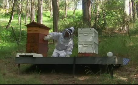 Invența care salvează viața albinelor. Cum arată dispozitivul de recoltare al veninului