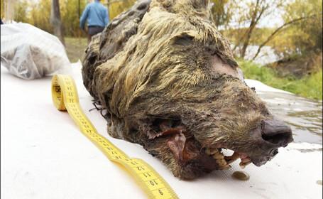 Lup preistoric descoperit in Siberia - 4