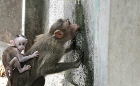 """Maimuțe lăsate să moară de sete de un grup """"rival"""" de animale"""