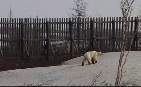 """Un urs polar, surprins în oraș. Schimbările climatice """"l-au alungat"""" din habitatul său"""