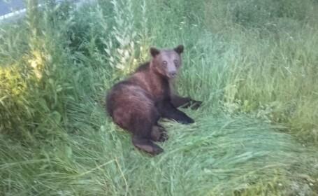 Pui de urs lovit în plin de o maşină pe DN 1, la Brașov.