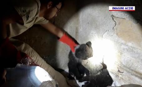 Doi pui de urs orfani au fost salvați de vânători. Ce se va întâmpla cu ursuleții