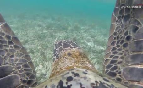 Imagini spectaculoase, filmate în Australia. Cum au fost surprinse 64.000 de broaște țestoase