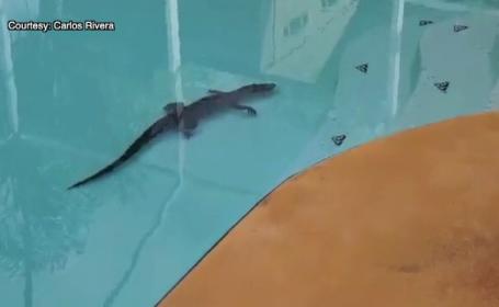 Aligator în piscină