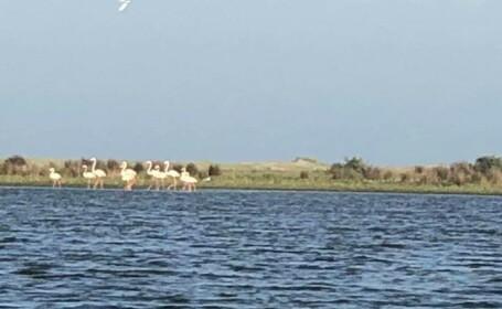 Apariție incredibilă. Cel mai mare grup de păsări flamingo văzut în ultimul secol în Delta Dunării