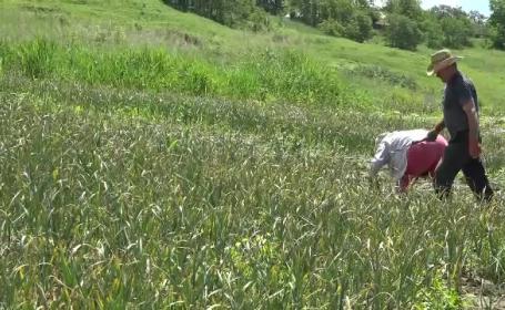 Leguma care le aduce sume uriașe fermierilor. Un român s-a întors din Italia ca să o cultive