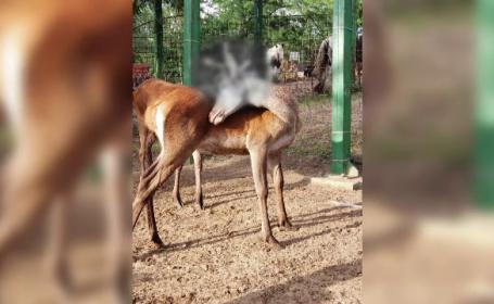 Un cerb plin de sânge i-a îngrozit pe vizitatorii grădinii zoologice din Galați. Ce s-a întâmplat