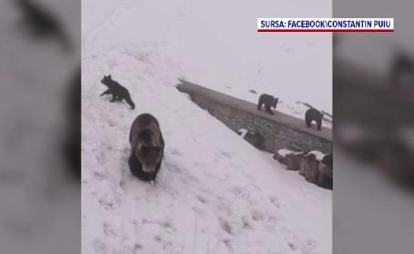 O ursoaică și trei pui, filmați la cabana Bâlea Lac de un salvamontist