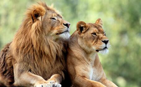 O leoaică a murit de COVID-19 într-un parc zoologic din India. Alţi opt lei, testaţi pozitiv