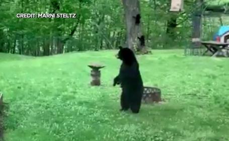 Video. Momentul în care o ursoaică și puii ei se urcă într-un copac pentru a căuta hrană