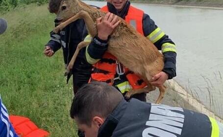O căprioară aproape înecată în canalul Bistrița, scoasă de pompieri. Veterinarii au tratat-o imediat