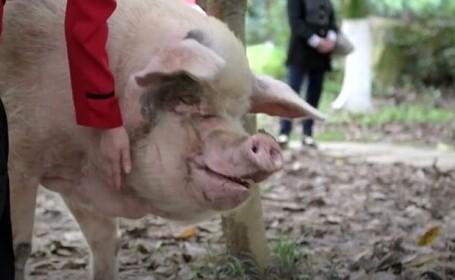 A murit porcul care a cucerit lumea după cutremurul devastator din 2008 din China