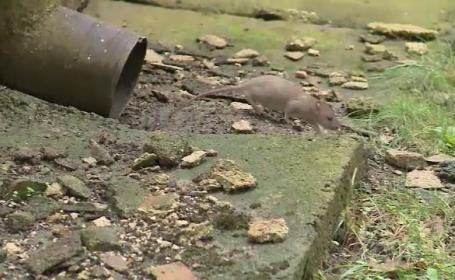 """A început vânătoarea de șobolani în București. Ploaia încurcă planurile primăriei: """"Colcăie în tot cartierul"""""""