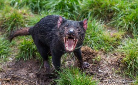 Diavolii tasmanieni duși pe o insulă pentru a fi salvați de la dispariție au exterminat o altă specie