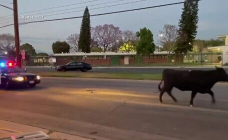 Vaci agresive în apropiere de Los Angeles. Cum au ajuns pe străzi