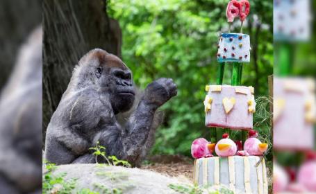 Cea mai bătrână gorilă din lume, ținută în captivitate, a împlinit 60 de ani