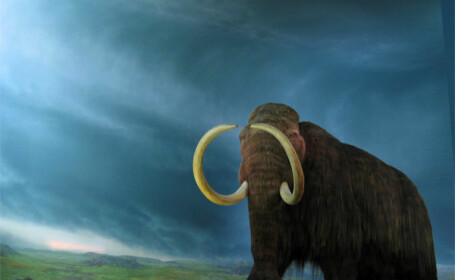 Cercetatorii japonezi: In cinci ani readucem la viata mamutul