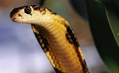 Povestea anului in India. O cobra a muscat un fermier, el s-a enervat si a muscat-o si el