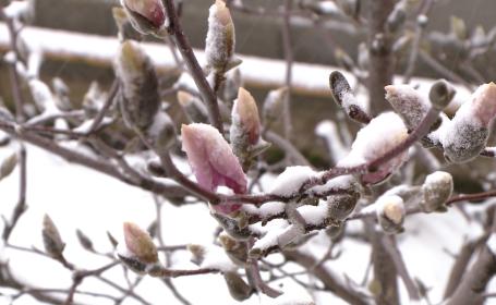 magnolia zapada