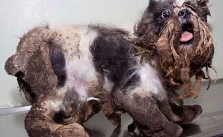 De la maidanez, la caine cu pedigree. Transformarea incredibila a unui caine abandonat pe strazile Montrealului