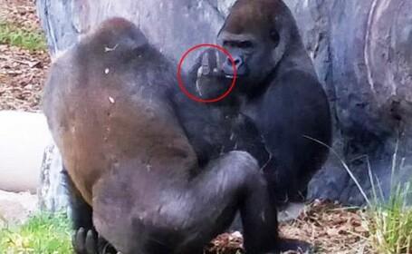 Imaginile nu sunt trucate. Gestul incredibil facut de o gorila de la o gradina zoologica din Florida. VIDEO