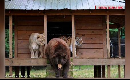 Prietenie neobisnuita intre un leu, un tigru si un urs, care fac totul impreuna. Unde au fost descoperite cele trei animale