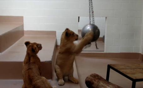 Doi pui de lei din Denver au cucerit internetul. Ingrijitorii au postat imagini din timpul exercitiului lor de fitness