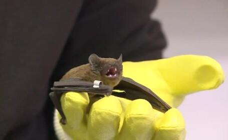 80 de lilieci au fost eliberati in Gradina Botanica. Singurele mamifere zburatoare care aduc beneficii uriase mediului
