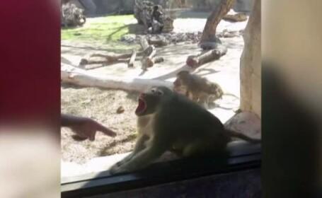 Reactia amuzanta a unui babuin in fata unui truc de magie. Ce face in momentul in care cartonasul dispare