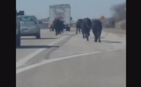 Haos intr-un oras din Kansas, dupa ce un camion cu vaci s-a rasturnat. Cireada de animale s-a plimbat ore in sir prin zona